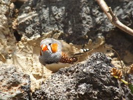 Zebra finches are often kept as pets.