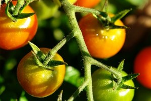 The tomato is popular with home gardeners.