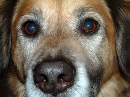 Abnormalities around your dog's eyes should be examined by your vet.