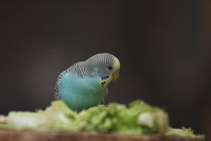 Observing your parakeet helps you distinguish normal and abnormal behavior.