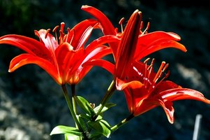 Asiatic lilies have upright, exotic-looking blooms.