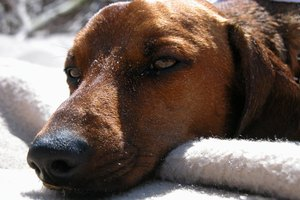 A dog with staph infection may appear more tired then usual..
