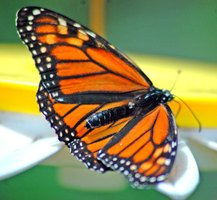 Monarch butterflies are (for insects) full of majesty.