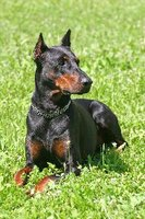 It is thought that the Doberman originated in Germany around 1900.