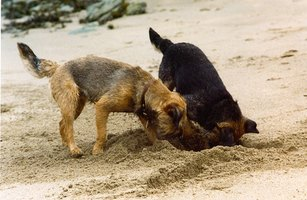 Dogs often dig furiously when anxious, bored or fearful.