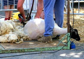 Electric sheep shears remove wool from sheep effectively and efficiently