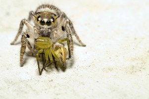 Jumping spiders are among the species sometimes encountered in Oregon homes.