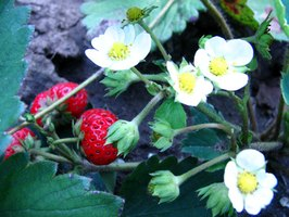 Strawberry plants grow well in a variety of planters.