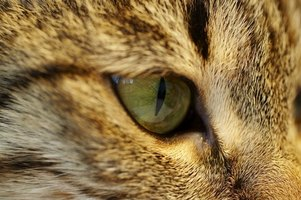 Polyps can grow deep within a cat's nasal and ear cavities.