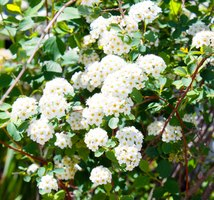 Snowball Bush Varieties Ehow