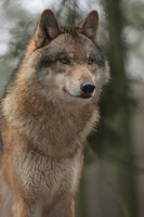 You can use a photo as the basis for your wolf design.