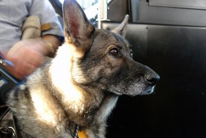 German shepherds are the breed most likely to have pancreatic insufficiency.