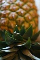 The pineapple is a traditional luau fruit served in many dishes.
