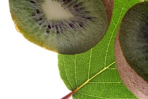 There are varieties of kiwi that are hardy in most of the United States.