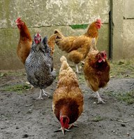 Chickens will be calmer after establishing a social order in the flock.