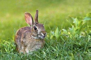 Natural repellents help keep gardens free from rabbit damage.
