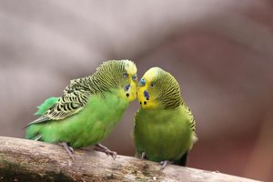 Budgies live in flocks in the wild.