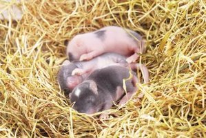 Feedings for baby mice must happen around the clock.