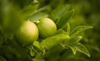 Some lime tree varieties are better suited for eating than others.