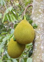 Jackfruits weigh up to 80 pounds each when ripe.