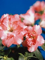 Azaleas are available in a wide variety of colors.
