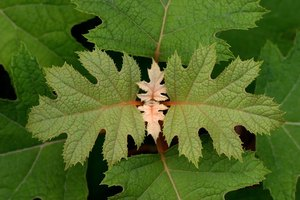 Oakleaf hydrangea leaves grow 8 to 12 inches long.