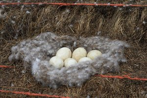 Goose eggs in a nest.