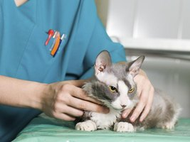 Kitty may visit the vet for a preanesthetic blood screening.