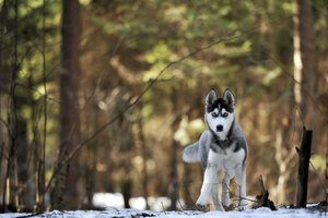 A Husky dog walking in the woods.
