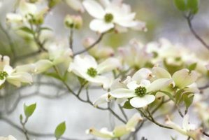 Spring-flowering dogwood trees also provide berries for wildlife and wood for various uses.