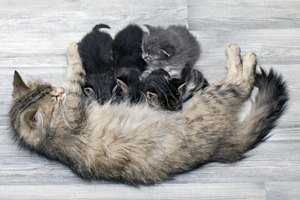 Cat nursing young kittens.