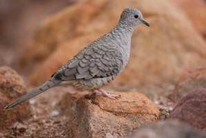 The Inca dove is commonly seen in cities of the Southwest.