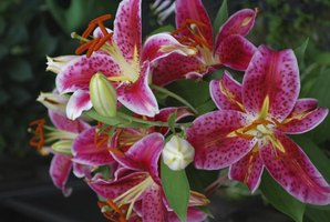 A cluster of blooming pink stargazer lillies.