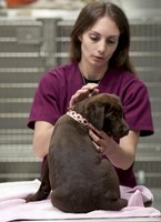 Phlebotomy is a basic and important duty for veterinary technicians.