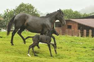Small foal running with its mother in field.