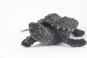 Baby snapping turtles are hatched in sand and live in water.