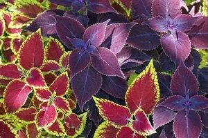 Mix different coleus types together for a vibrant, striking display.