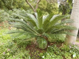 Lebombo cycad is an example of a plant species from the Cycadophyta phylum.
