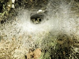 A funnel web spider's web is not sticky.