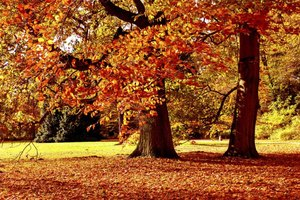 Two colorful maple trees grow in a field.