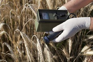 Scientist uses a Geiger counter to measure radioactive materials in wheat