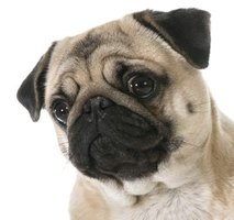 First discovered in pug dogs, necrotizing meningoencephalitis affects many small breeds.