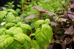 Basil varieties combine to make a container garden.
