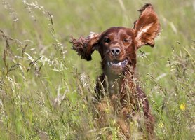 Dog running through field with ears flapping
