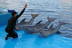 Marine mammal trainer working with three dolphins