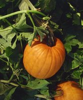Pumpkins need lots of space and attention in the garden.