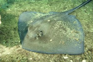 Stingray fins are more angular than curved skate fins.