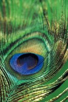 The eye of a peacock feather typically consists of vibrant colors.
