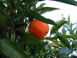 Florida produces 70 percent of the U.S. supply of citrus.