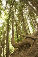 Tree roots form net-like strands that help hold soils in place on steep slopes.
